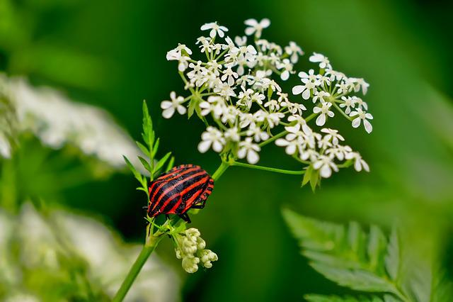 Insect, Strip Bug, Elder Flower, Spring, Black Red