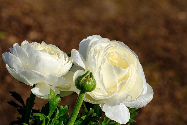 Buttercup, Ranunculus, Blossom, Bloom, Bloom, Spring
