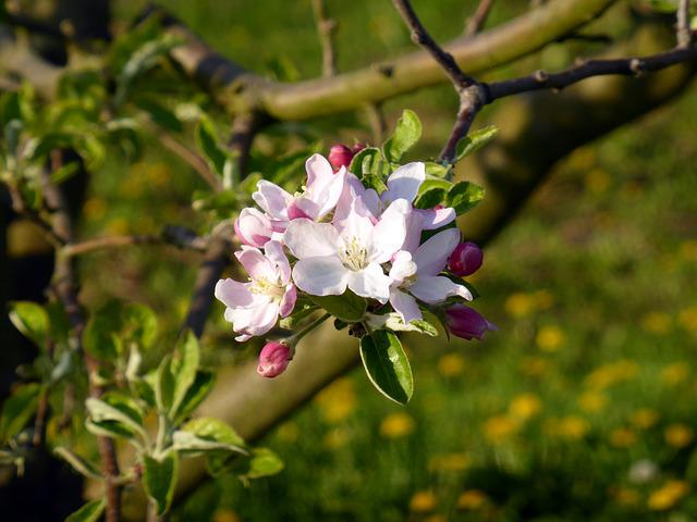 Blossom, Bloom, Apple Tree Blossom, Spring, Fruit Tree