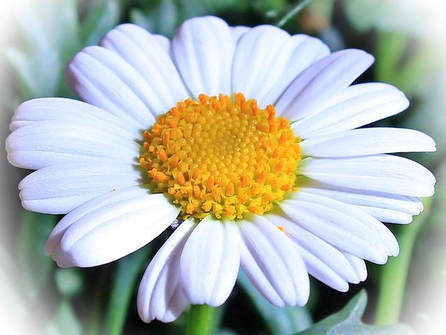 Marguerite, Flower, Blossom, Bloom, Incomplete, Spring