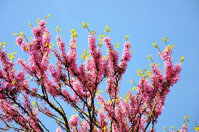 Judas Tree, Spring, Bloom