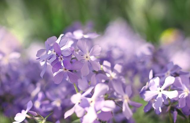 Spring, Spring Flowers, Bloom, May, Blooming Phlox