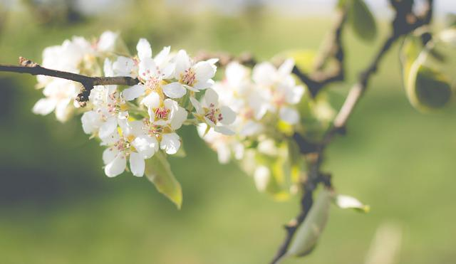Pear Blossom, Bloom, Pear, Spring, Blossom, Bloom, Tree