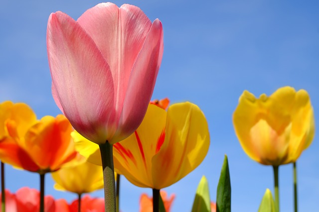 Tulip, Flower, Blossom, Bloom, Flowers, Pink, Spring