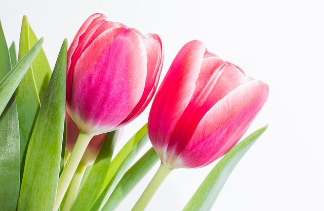 free photo blossom yellow bloom tulip flower spring flower  max pixel, Beautiful flower