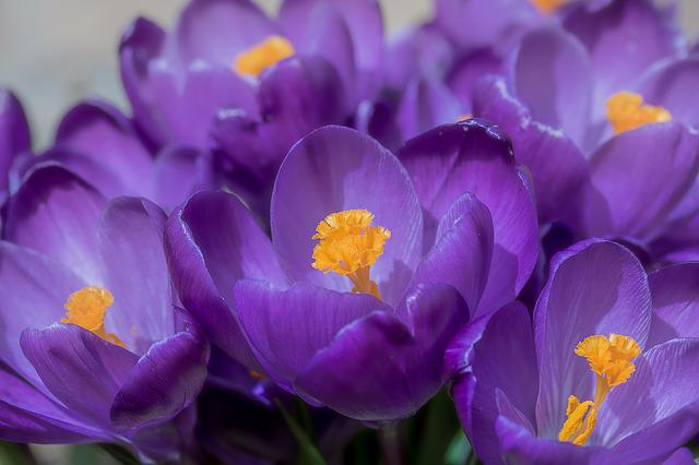 Crocus, Flower, Spring, Bühen, Purple, Blossom, Bloom