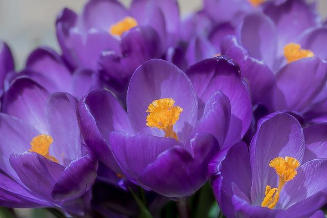 Crocus, Flower, Spring, Bühen, Purple, Blossom, Bloom