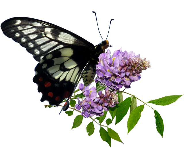 Butterfly, Wisteria, Insect, Nature, Spring