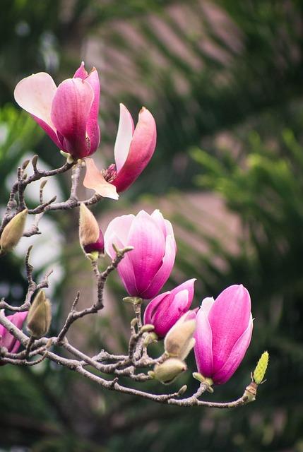 Magnolia Flower, Spring, Canton, Flower