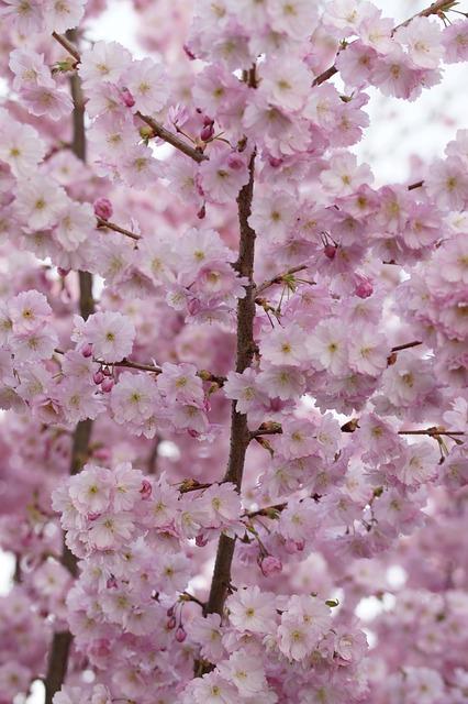 Cherry Blossom, Blossom, Bloom, Spring, Blossom, Close