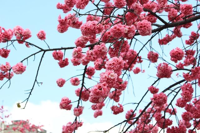 Dali, Cherry Blossom, Spring