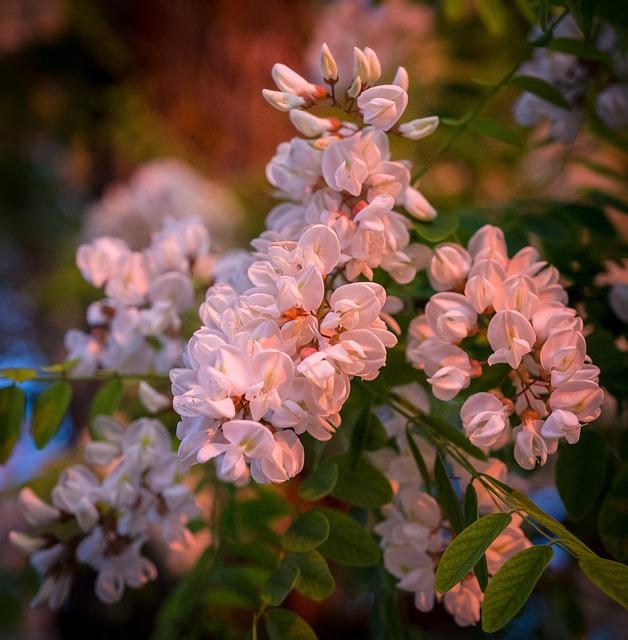 Cherry Blossom, White, Pink, Spring, Bloom, Summer
