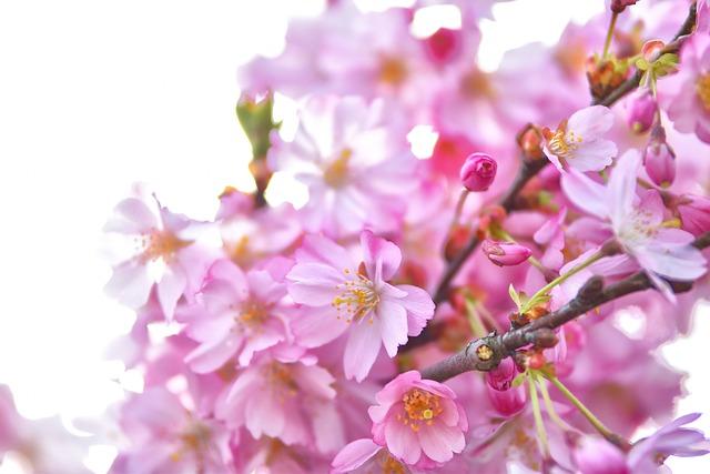 Cherry, Cherry Blossoms, Cherry Tree, Spring