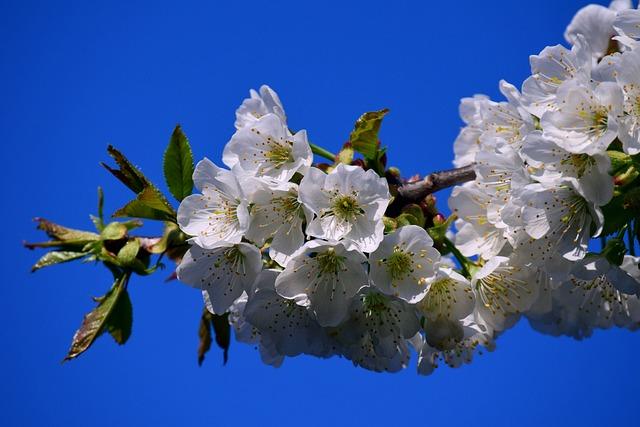 Cherry Blossoms, Spring, Sky, Blue, White, Tender
