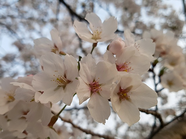 Cherry Blossom, Cherry Tree, Season, Spring