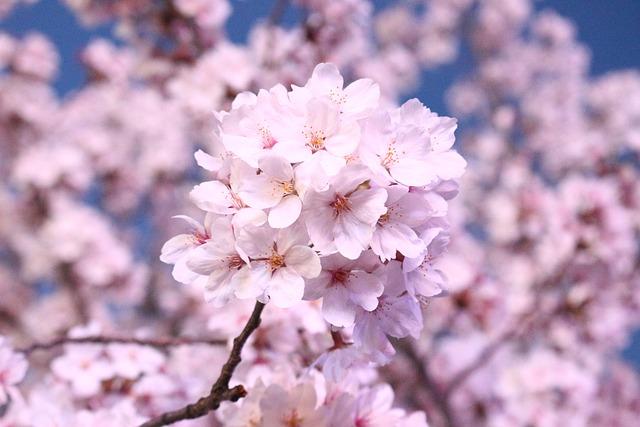 Cherry Blossom, Cherry Tree, Spring, Spring Flowers
