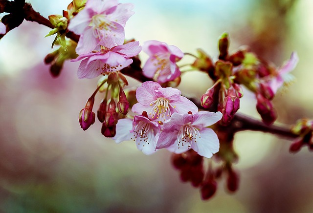 Kawazu Cherry Blossom, Spring, Flowers, Cherry, Wood