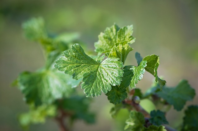 Leaves, Green, Engine, Spring, Currant, Plant, Close