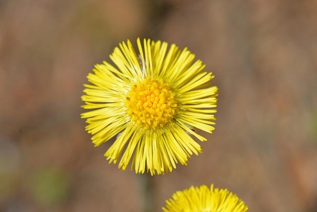 Tussilago Farfara, Yellow, Plant, Spring, Close