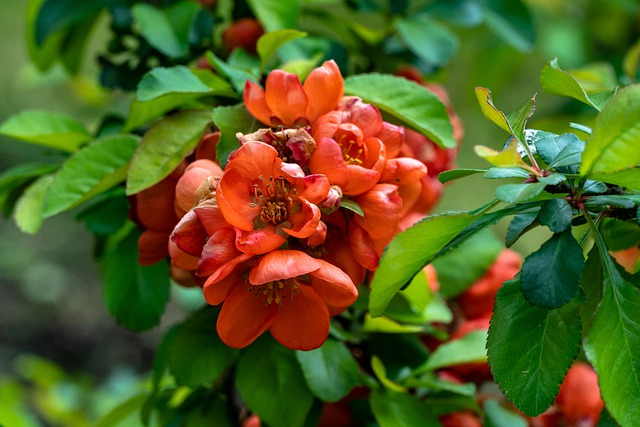 Quince, Bloom, Spring, Flower, Colorful, Red, Bush