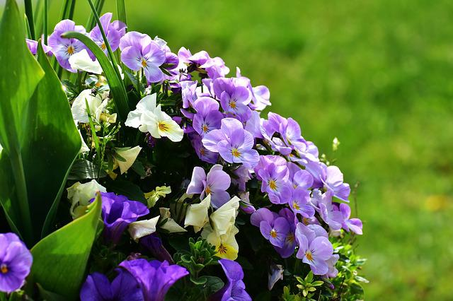 Pansy, Flowers, Spring, Meadow, Garden, Colorful