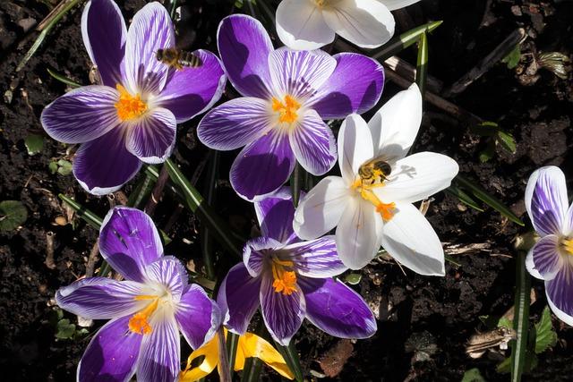 Spring, Crocus, Schwertliliengewaechs, Spring Crocus