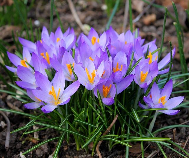 Crocuses, Easter, Spring, Flowers, Crocus, Flower Bulbs