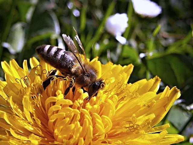 Bee, Dandelion, Macro, Spring, Nature, Garden, Flower