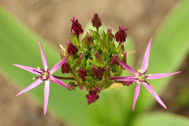 Decorative Garlic, Garlic Flower, Spring, Plant