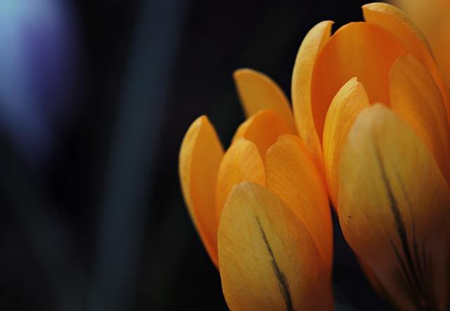 Crocus, Flower, Spring, Spring Flower, Early Bloomer