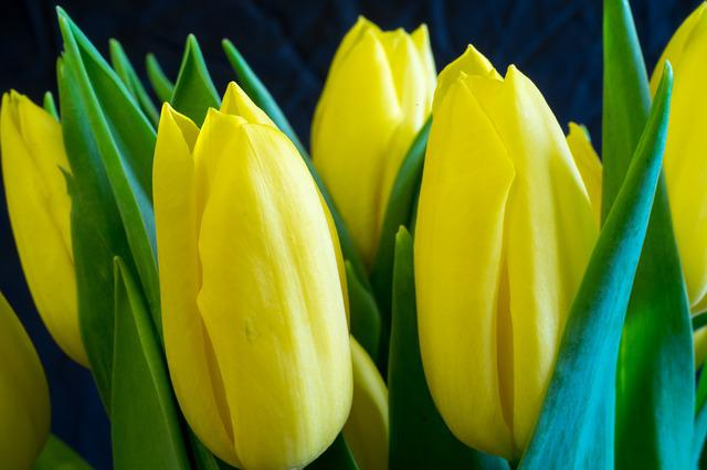 Tulip, Easter, Nature, No One, Plant, Yellow, Spring
