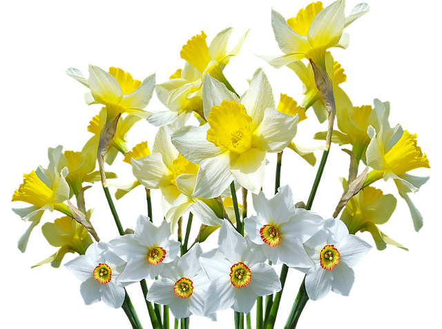 Spring, Daffodils, Osterglocken, Easter, Spring Flowers