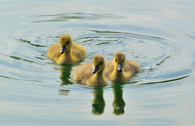 Canada Goose, Goslings, Animal, Young, Spring, Flock