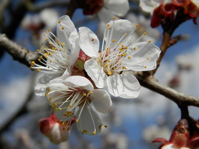 Flower, Apricot, Spring