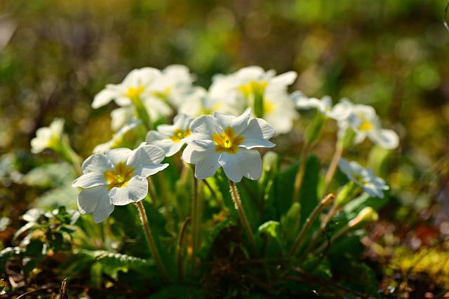 Primrose, Flower, Plant, Spring, Bloom, Garden, Primula