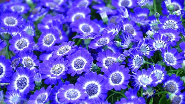Cineraria, Blue Flower, Spring, Spring Flower