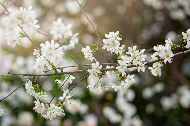 Flower, Cherry Flowers, Spring, Plant