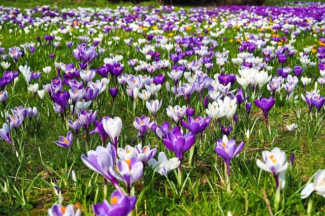 Crocus, Flower, Spring, Spring Flower, Blossom, Bloom