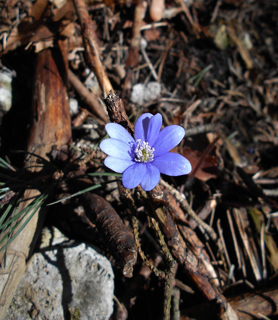Liverwort, Valleys Near Cracow, Spring Flower, Flower