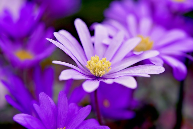 Balkan Anemone, Flower, Purple, Flowers, Spring Flower