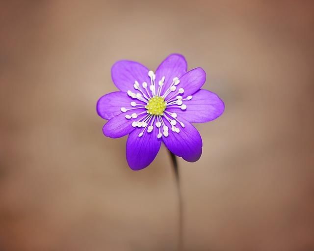 Hepatica, Flower, Blossom, Bloom, Purple, Spring Flower