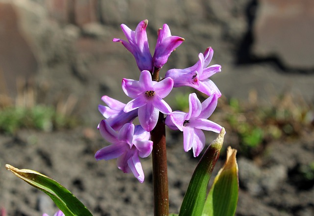 Hyacinth, Spring Flowers, Pink, Spring, Nature, Flower