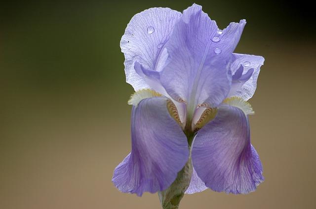 Flower, Spring, Purple, Iris