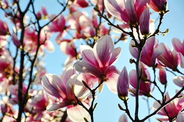 Magnolia, Spring, Flower, Bloom