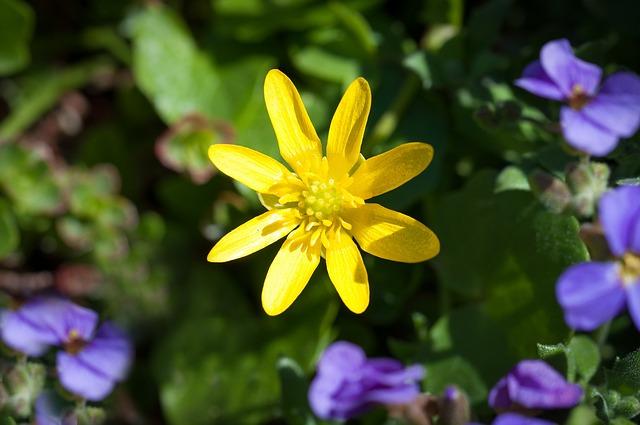 Celandine, Plant, Early Bloomer, Nature, Spring Flower