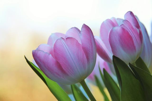 Flower, Nature, Plant, Garden, Leaf, Tulip, Spring