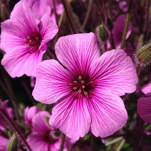Pink, Flower, Spring, Geranium, Pink Flowers