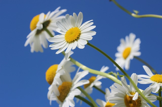 Daisies, Flower, Spring, Plant, Nature, Sky, Summer