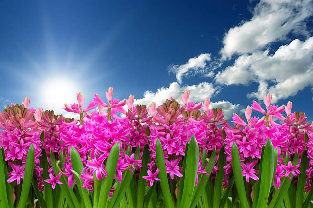 Flower, Nature, Plant, Hyacinth, Spring, Spring Flower