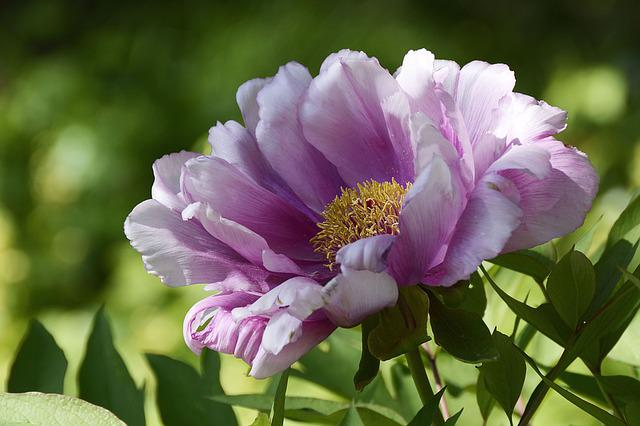 Peony, Blossom, Bloom, Purple, White, Spring, Flower